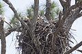 NASA Kennedy Wildlife - Bald Eagle (9).jpg