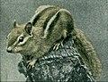 NSRW Chipmunk (color).jpg