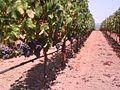 Napa Valley vineyard - panoramio.jpg