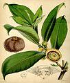 Napoleonaea imperialis00.jpg