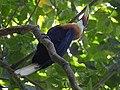 Narcondam Hornbill DSCN1242 27.jpg