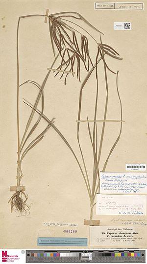 Cyperus rotundus - Cyperus rotundus L. subsp. rotundus, herbarium specimen isotype, 1839