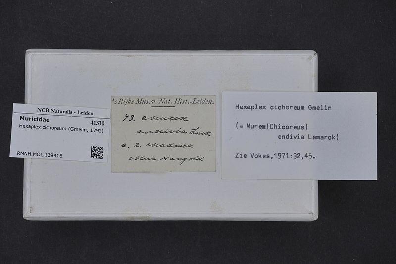 File:Naturalis Biodiversity Center - RMNH.MOL.129416 1 - Hexaplex cichoreum (Gmelin, 1791) - Muricidae - Mollusc shell.jpeg