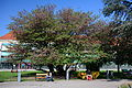 Naturdenkmal 762 2014-05-02 (6) Wien09 Altes AKH Hof2 Judasbaum GuentherZ.JPG
