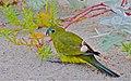 Neophema petrophila -Greens Pool, Western Australia, Australia-8.jpg