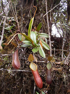 Nepenthes tentaculata - A climbing plant with upper pitchers from Mount Kinabalu