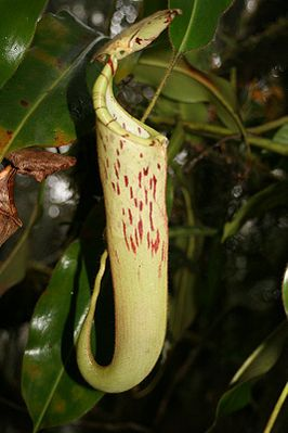 Nepenthes chaniana, Luftkanne