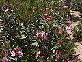 Nerium oleander.jpg