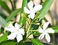Nerium oleander 2424.jpg