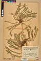 Neuchâtel Herbarium - Alyssum alyssoides - NEU000021920.jpg