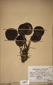 Neuchatel Herbarium Types NEU000113028.tif