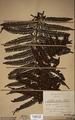 Neuchatel Herbarium Types NEU000113035.tif