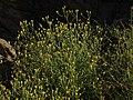 Nevada rockdaisy, Perityle megalocephala var. megalocephala (15968237497).jpg