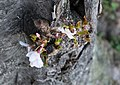 New life in old cherry trees - Washington DC - 2014-04-10 (13772819644).jpg