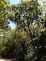 Nice Gumbo Limbo Sample - panoramio.jpg
