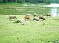 Nilgiri sheep's grazing in ooty lake side.jpg