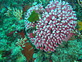 Noble coral at Klein Tafelberg DSC00353.JPG