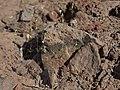 Northern whiskerbrush, Leptosiphon septentrionalis (46804312344).jpg