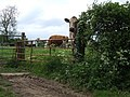 Nosey Cow^ - geograph.org.uk - 437397.jpg