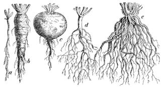 Rôzne typy koreňov