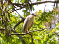 Nycticorax nycticorax 00007.png