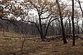 Oak trees that where severely damaged in a wildfire that occurred three weeks earlier. (24481030544).jpg