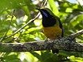Ob Leafbird DSCN3921.jpg