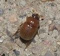 Ochodaeidae P1110341a.jpg