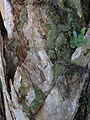 Octoblepharum albidum — Scott Zona 003.jpg