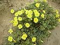 Oenotheradrummondii 3390.JPG