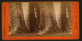 Old Dominion and Uncle Tom's Cabin. Mammoth Trees of Calaveras Co., California, by Pond, C. L. (Charles L.).png