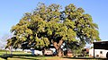 Old Evergreen Tree Lee County Texas 2018.jpg