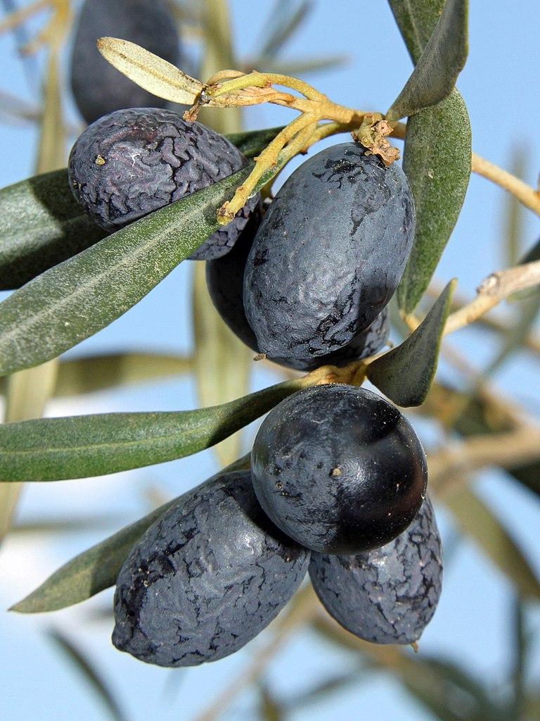 Oliva európska (Olea europaea) - plody