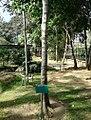Olea welwitschii - Arusha gardens 1.jpg