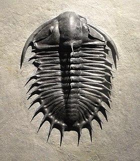 <i>Olenoides</i> genus of trilobites