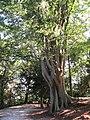 Olmo Caucaso 8850.jpg