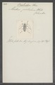 Onalcidion - Print - Iconographia Zoologica - Special Collections University of Amsterdam - UBAINV0274 034 25 0002.tif