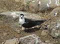 Onychoprion fuscatus Ascension Island 2.jpg