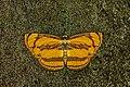 Open wing Basking posture of Pantoporia paraka (Butler, 1879) – Perak Lascar WLB DSC 63501.jpg