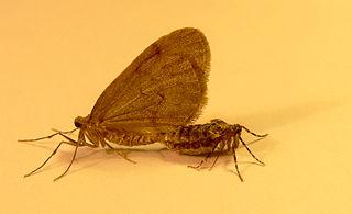 Piadivka jesenná (lat. Operophtera brumata) - samček vľavo, samička vpravo