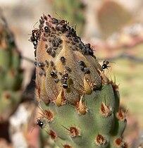 Opuntia basilaris 5.jpg