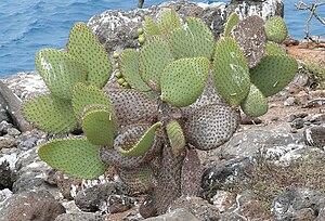 Opuntia echios - Opuntia echios var. zacana is a small variety