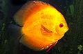 Orange Discus fish Symphysodon aequifasciatus.jpg