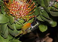 Orange breasted sunbird getting nectar from pincushion (5860294811).jpg