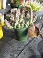 Orbea variegata (Stapelia) (4876463617).jpg