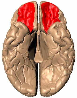 Orbitofrontal cortex - Image: Orbital gyrus viewed from bottom
