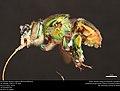 Orchid bee (Apidae, Euglossa flammea (Moure)) (36849411681).jpg