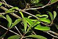 Oriental Vine Snake (Ahaetulla prasina) (8754420028).jpg