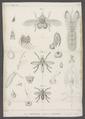 Ornithomyia - Print - Iconographia Zoologica - Special Collections University of Amsterdam - UBAINV0274 039 08 0011.tif