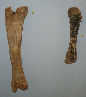 Orthomerus - Orthomerus dolloi fossils